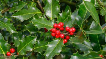 ilex-aquifolium-cesmina-ostrolista-352x198.jpg