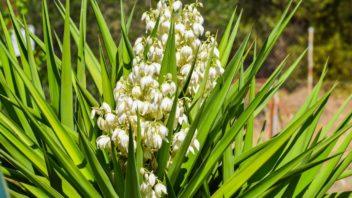 juka-vlaknita-yucca-recurvifolia-352x198.jpg