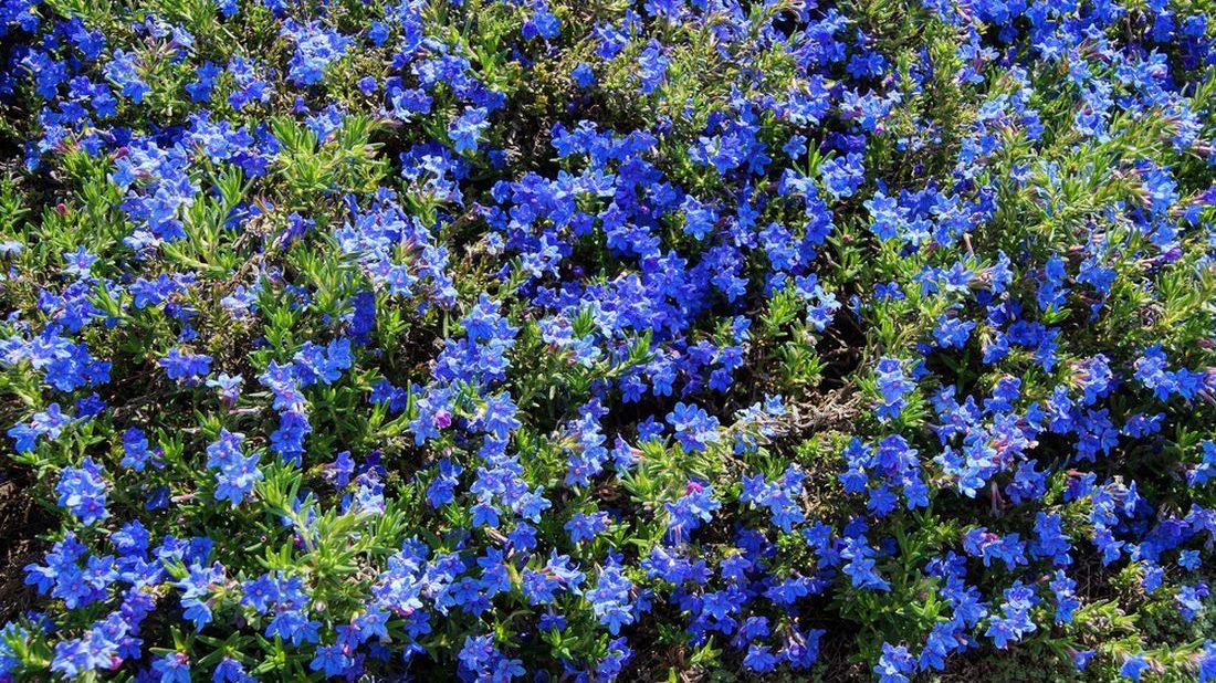 kamejnicka-rozkladita-lithodora-diffusa-lithospermum-diffusum-1100x618.jpg