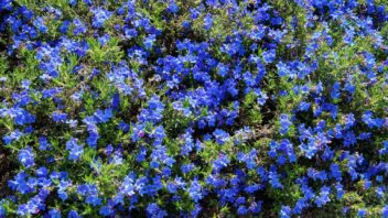 kamejnicka-rozkladita-lithodora-diffusa-lithospermum-diffusum-352x198.jpg