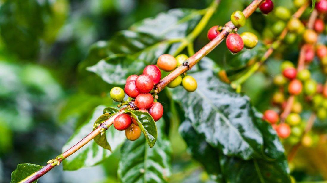 kavovnik-coffea-1100x618.jpg