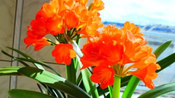 klivie-remenatka-clivia-352x198.jpg