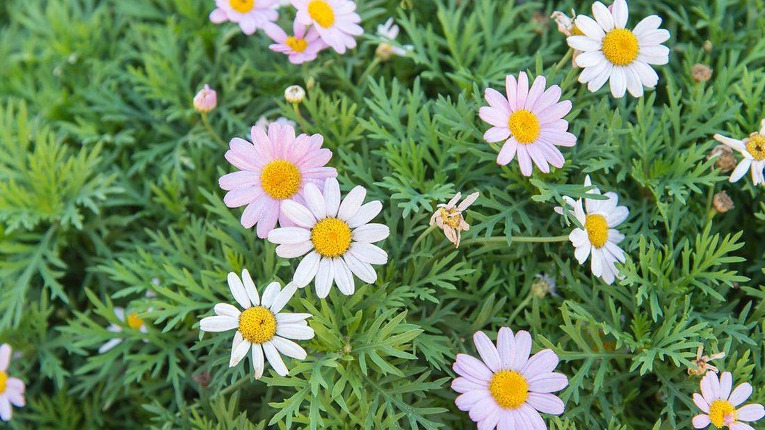 kopretinovec-drevnaty-argyranthemum-frutescens-1100x618.jpg