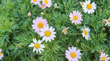 kopretinovec-drevnaty-argyranthemum-frutescens-352x198.jpg