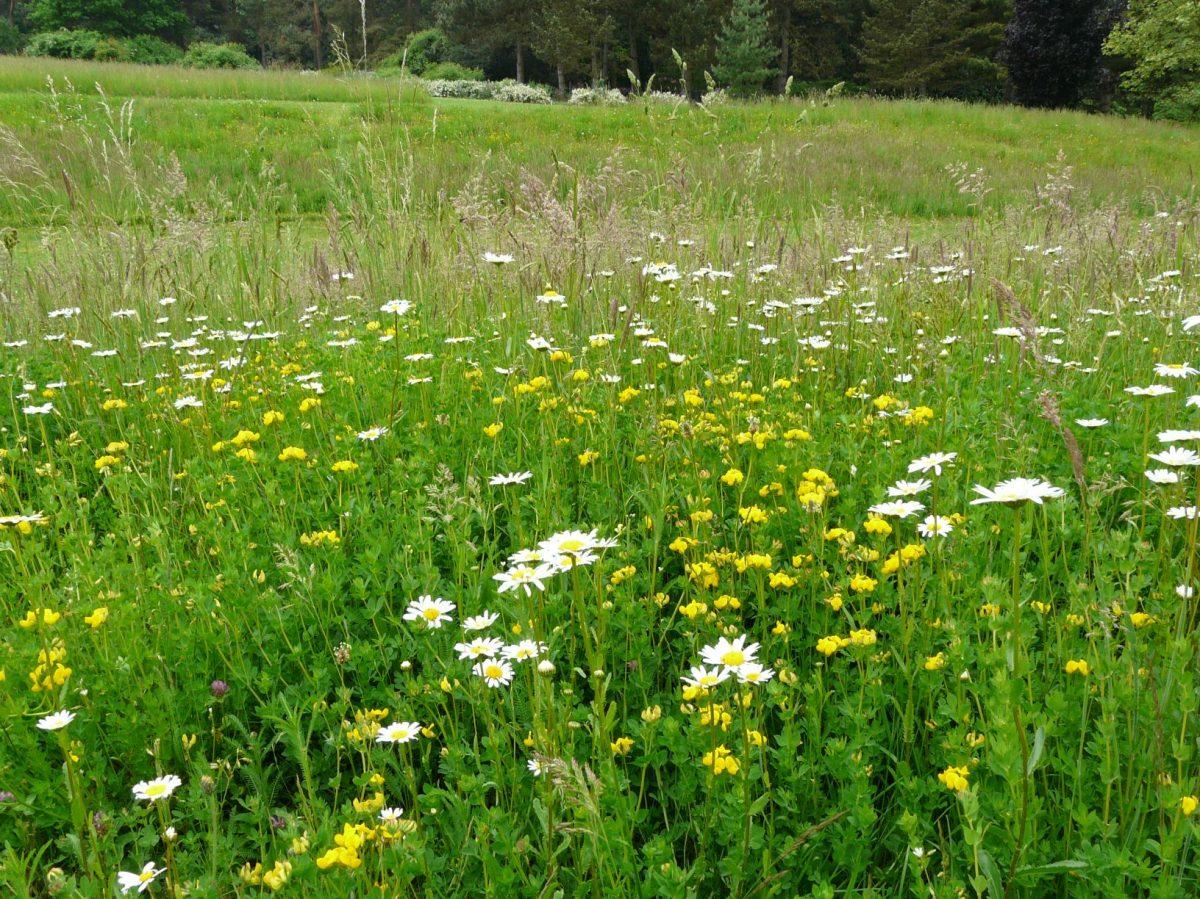 kvetnate-druhy-zvysuji-odolnost-travniku-vuci-suchu-a-navic-plni-i-ekologickou-funkci-diky-ni-jsou-navic-stale-oblibenejsi-1200x1200.jpg