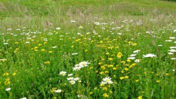 kvetnate-druhy-zvysuji-odolnost-travniku-vuci-suchu-a-navic-plni-i-ekologickou-funkci-diky-ni-jsou-navic-stale-oblibenejsi-352x198.jpg