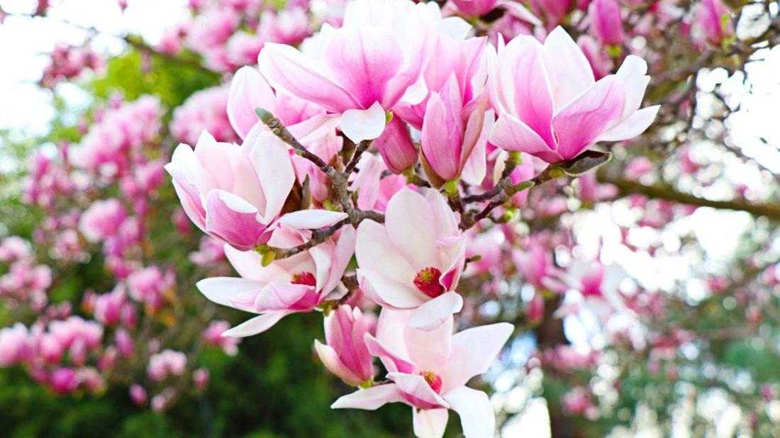 magnolie-magnolia-1100x618.jpg