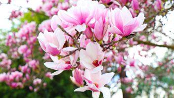 magnolie-magnolia-352x198.jpg
