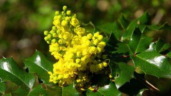 mahonie-cesminolista-mahonia-aquifolium-352x198.jpg
