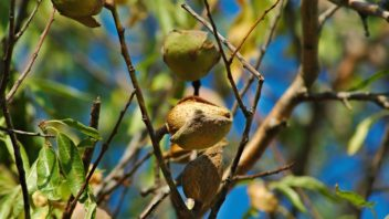 mandlon-mandlon-obecna-prunus-dulcis-352x198.jpg