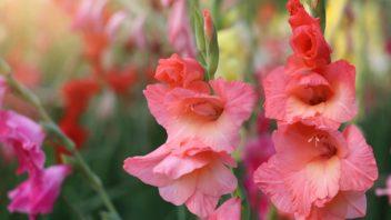 mecik-gladiolus-352x198.jpg