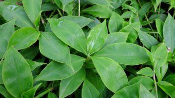 neoalsomitra-sarcophylla-352x198.jpg