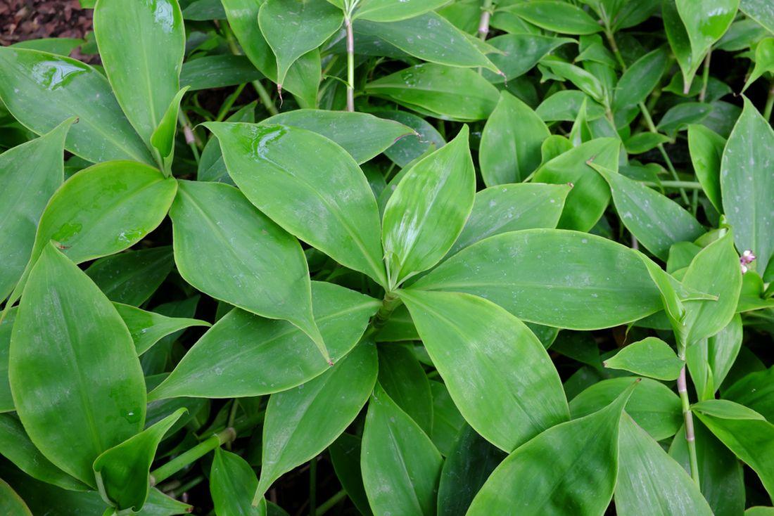 Neoalsomitra sarcophylla