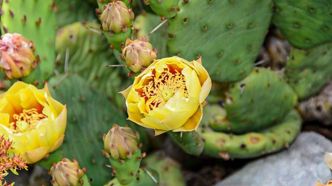 opuncie-polehava-opuntia-humifusa-1100x618.jpg