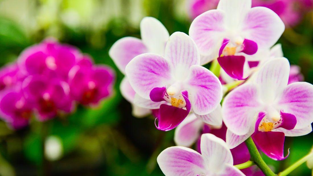 orchidea-phalaenopsis-1100x618.jpg