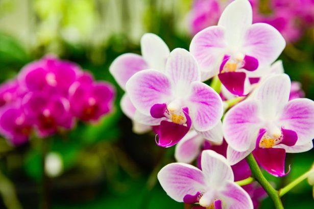 orchidea-phalaenopsis-615x410.jpg