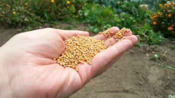 osivo-zeleneho-hnojeni-sezenete-ve-specializovanych-obchodech-352x198.jpg