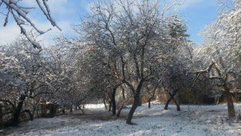 ovocne-stromy-jsou-vetsinou-relativne-kratkoveke-i-presto-se-ale-vyplati-zachovat-maximum-a-stromy-peclive-osetrit-352x198.jpg
