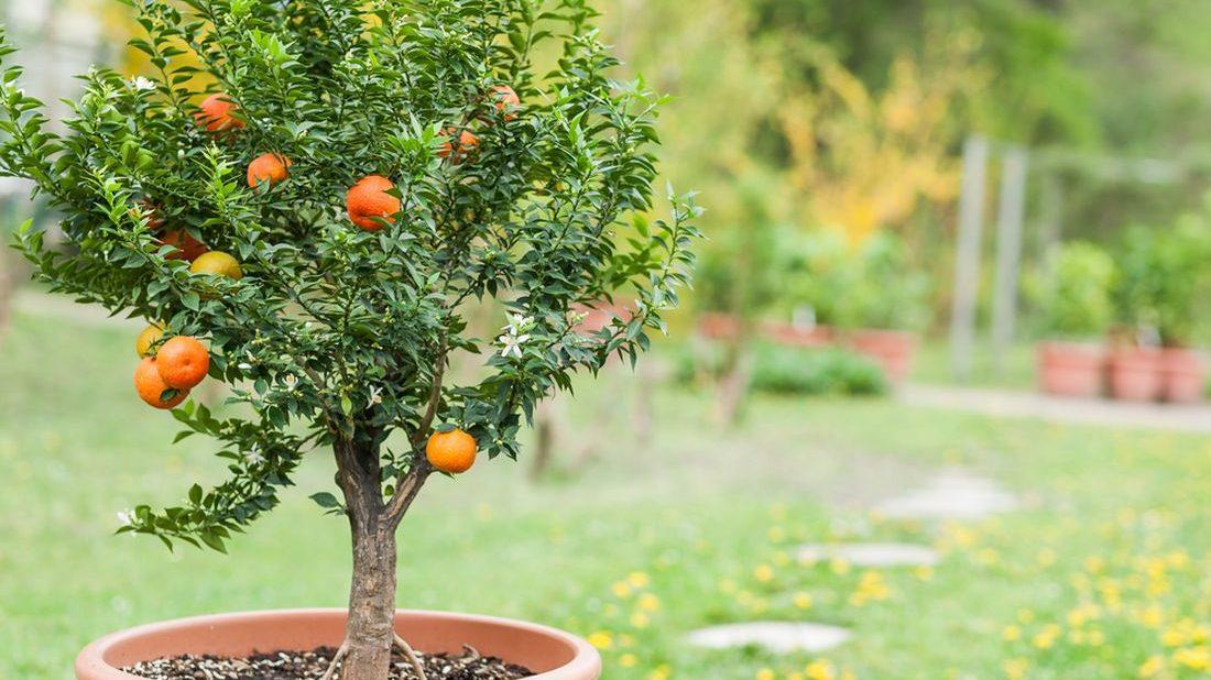 ovocny-strom-v-kontejneru-mandarinka-v-kvetinaci-1100x618.jpg