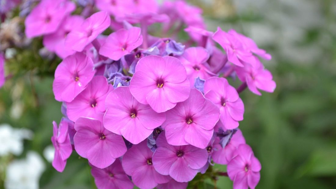 plamenka-drummondova-polemoniaceae-1100x618.jpg