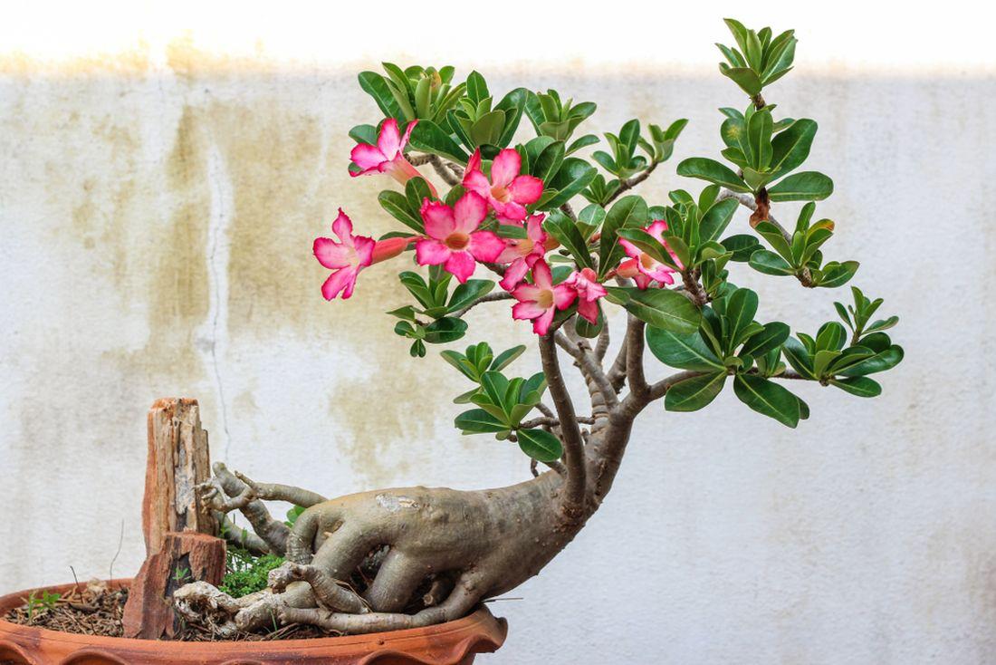 pouštní růže, Adenium