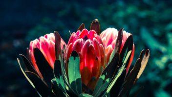 protea-protea-compacta-352x198.jpg