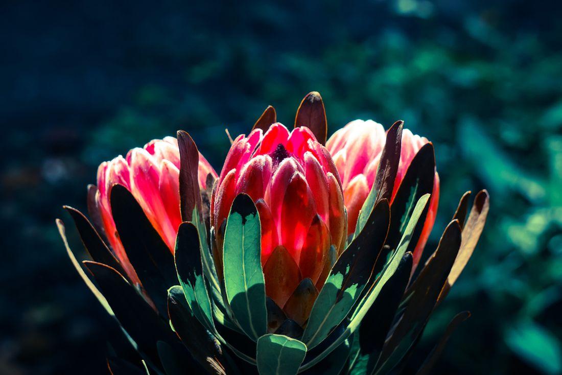 protea, protea compacta