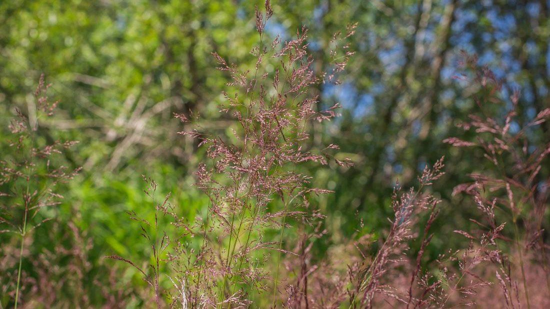 psinecek-vybezkaty-agrostis-stolonifera-1100x618.jpg