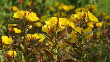 pupalka-malokveta-oenothera-parviflora-352x198.jpg