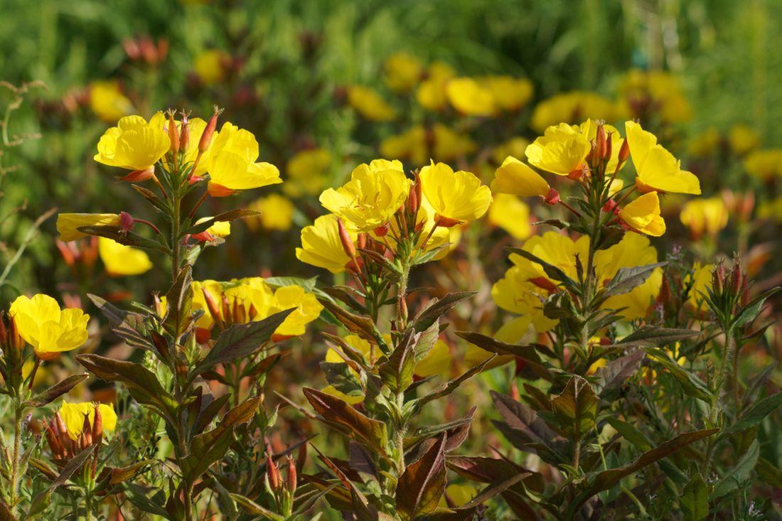 pupalka malokvětá, Oenothera parviflora