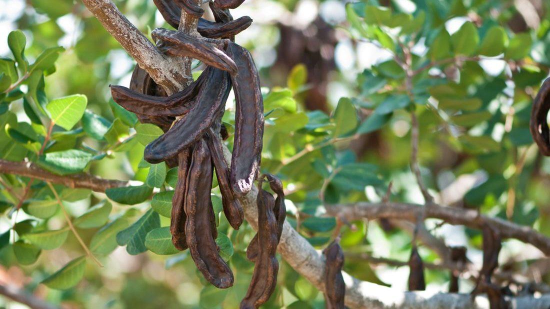 rohovnik-obecny-cokoladovy-strom-ceratonia-siliqua-1100x618.jpg