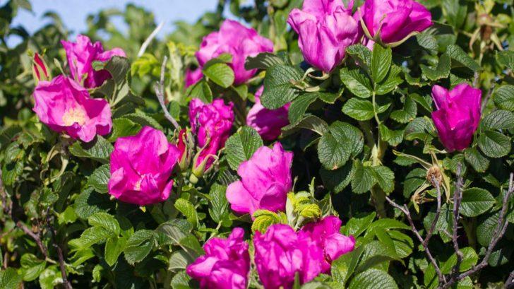 ruze-svraskala-rosa-rugosa-728x409.jpg