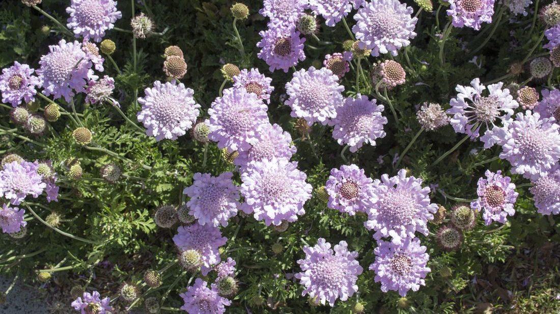 scabiosa-columbaria-1100x618.jpg