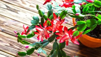 schlumbergera_vanocni-kaktus-352x198.jpg