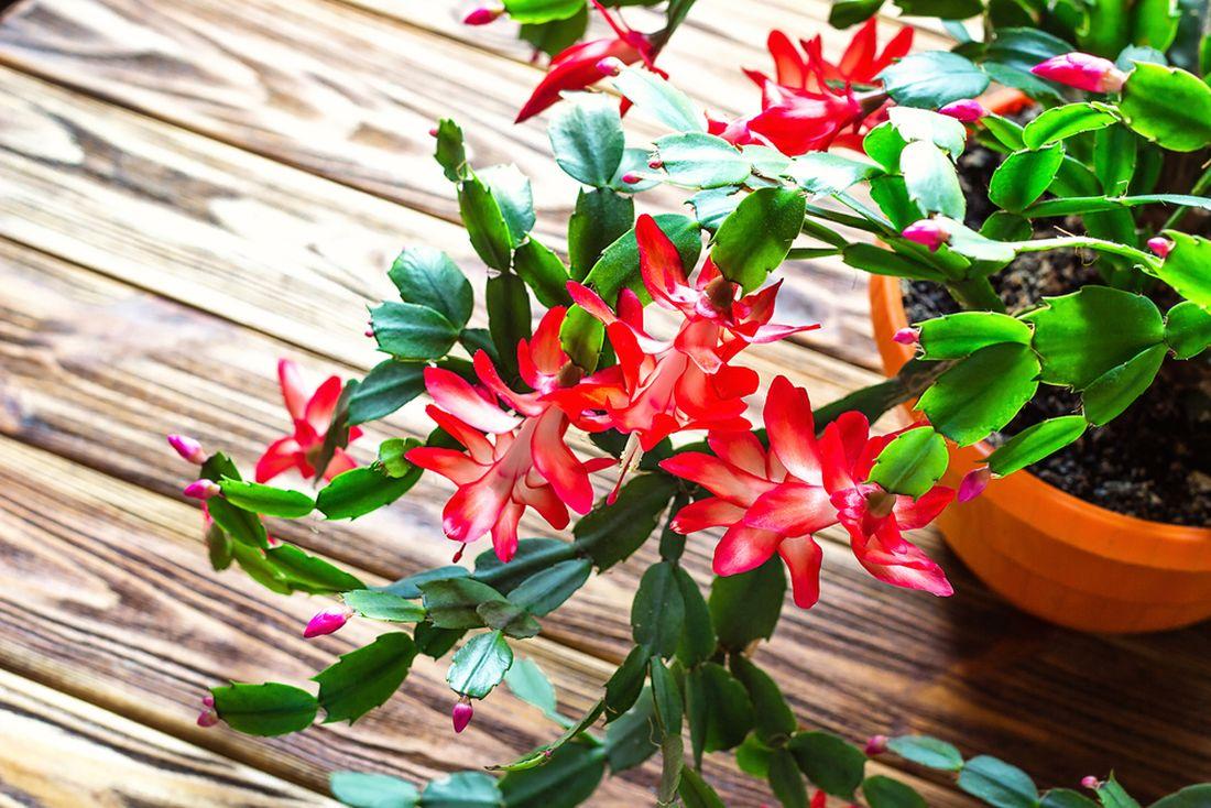 Schlumbergera_vánoční kaktus