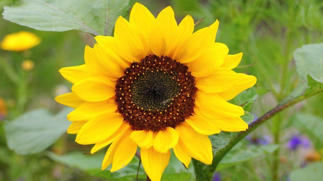 slunecnice-helianthus-annuus-2-1100x618.jpg