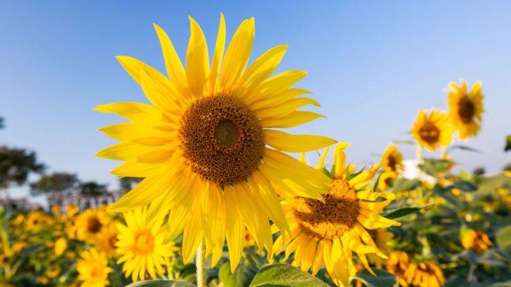 slunecnice-rocni-helianthus-annuus-slunecnice-728x409.jpg