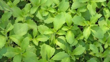 stevie-stevia-352x198.jpg