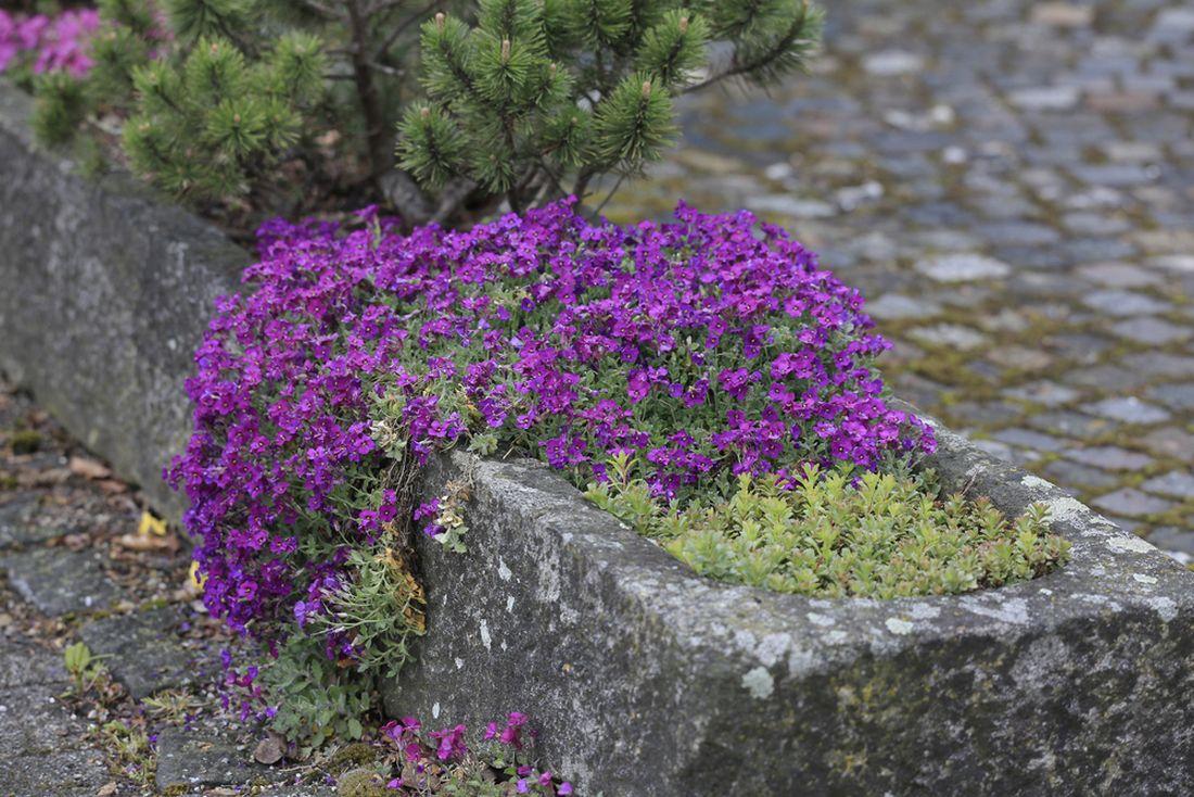 tařička, Aubrieta, betonové korýtko, betonový květináč, korýtko