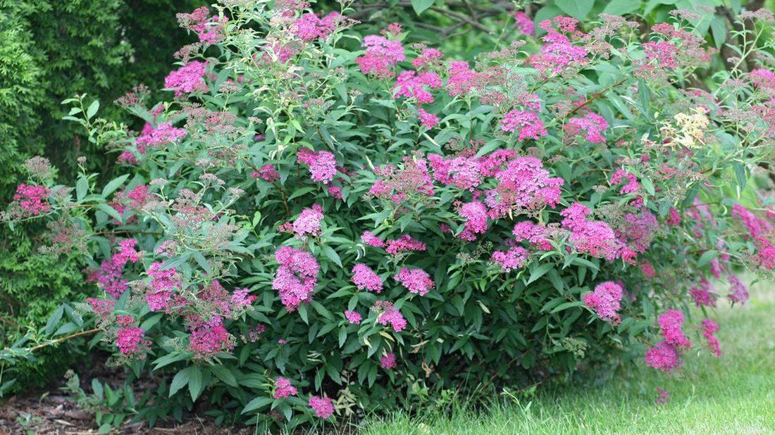 tavolnik-japonsky-spiraea-japonica-1100x618.jpg
