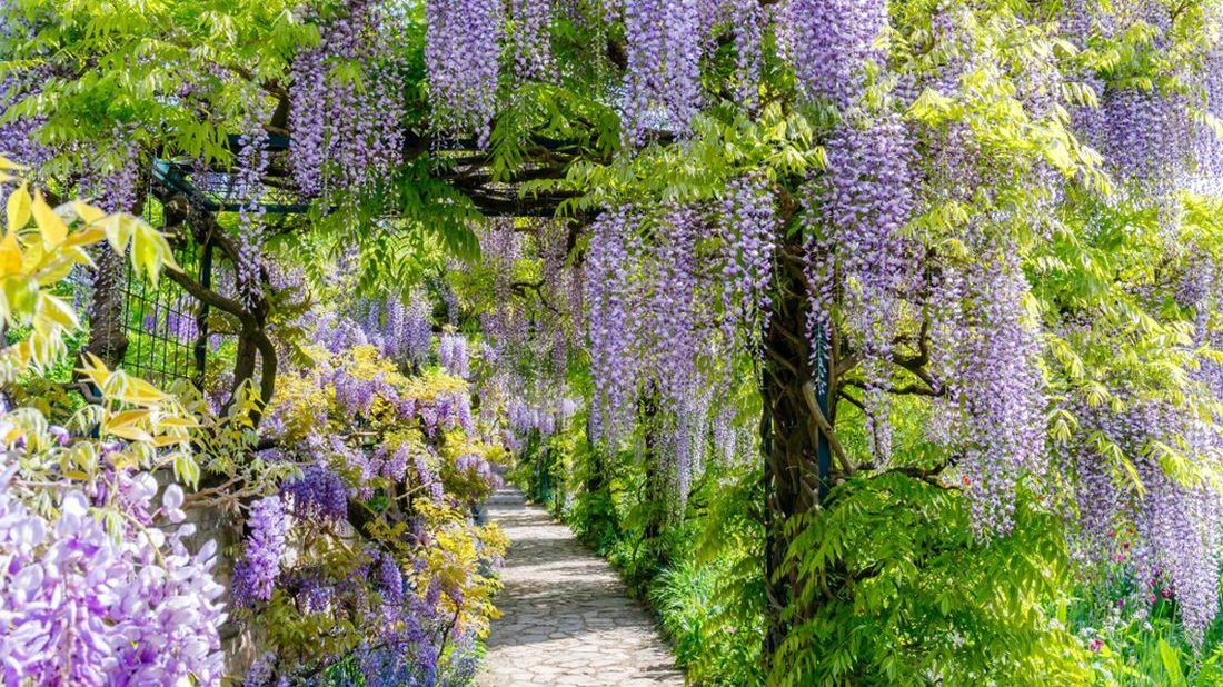 vistarie-kvetnata-wisteria-floribunda-1100x618.jpg
