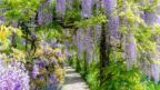 vistarie-kvetnata-wisteria-floribunda-144x81.jpg