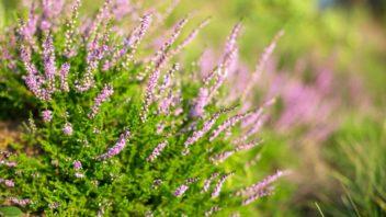 vres-obecny-calluna-vulgaris-1-352x198.jpg