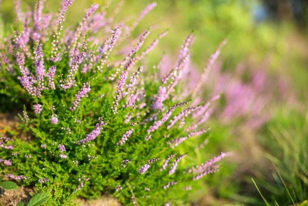 vres-obecny-calluna-vulgaris-1-614x410.jpg