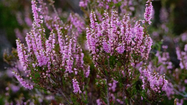 vres-vres-obecny-calluna-vulgaris-728x409.jpg