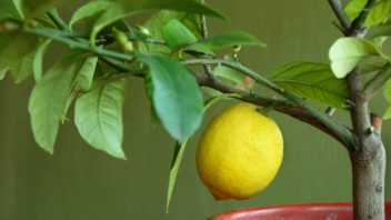 citronik-citrus-352x198.jpg