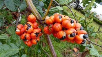 guarana-paullinia-cupana-352x198.jpg