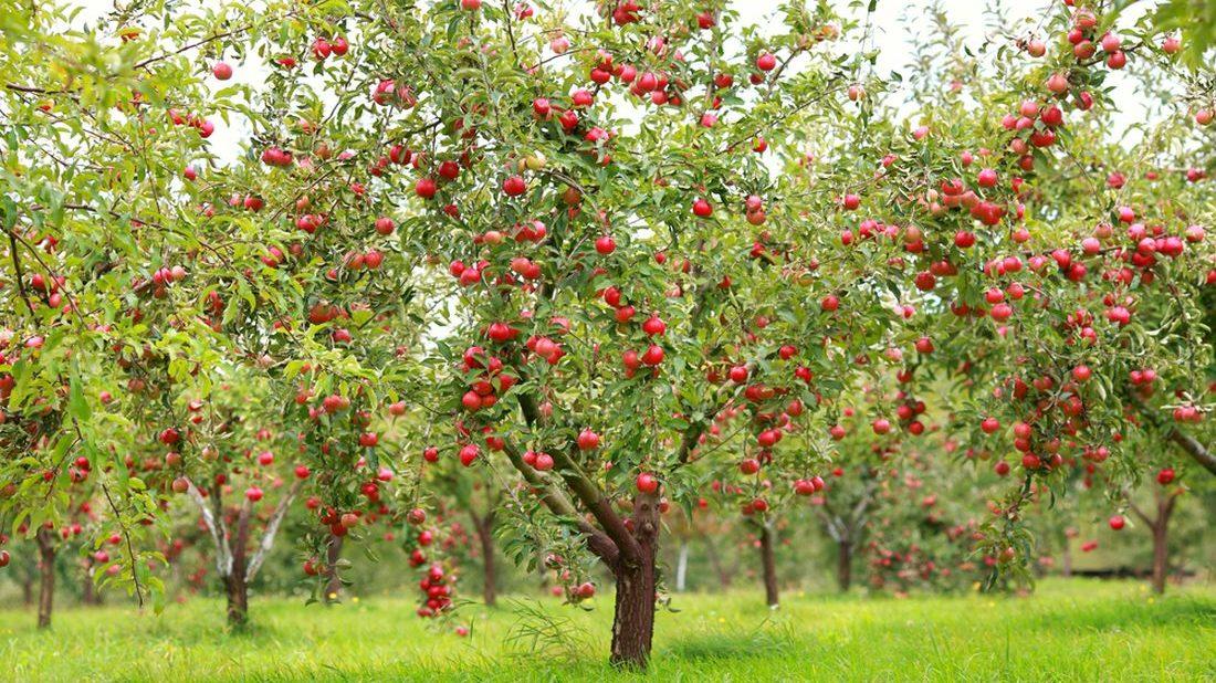 jablon-jablko-1100x618.jpg