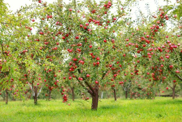jablon-jablko-614x410.jpg