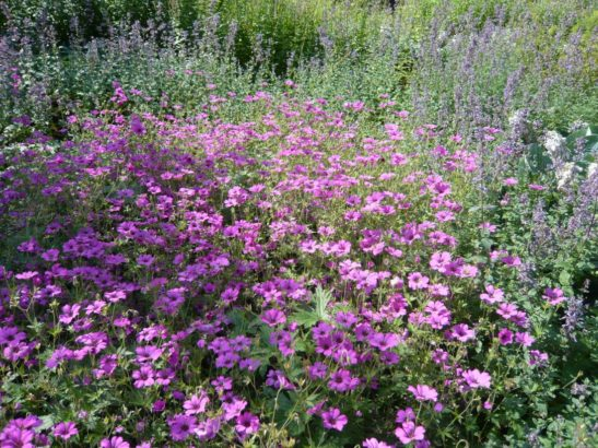 kakosty-prekvapi-dlouhou-dobou-kvetu-a-vyraznou-vuni-547x410.jpg
